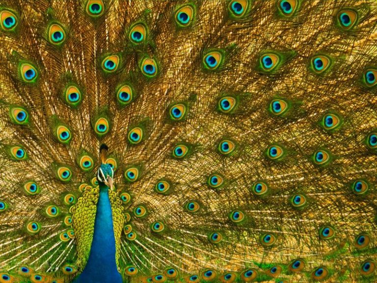 peacock-at-yala